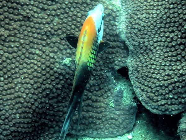 Koh Tao Fische