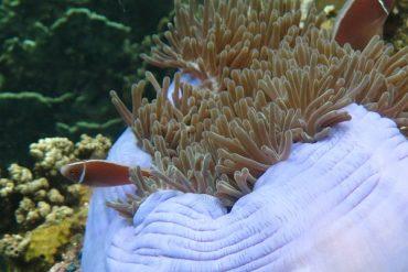 viaje tailandia-bucear- Scuba-diving-anemona
