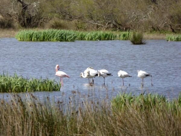 flamingos Aiguamolls