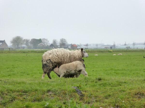 schafe wiesen bootstouren durch die Kanäle in Holland
