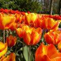 tulpenblüte im Keukenhof Holland