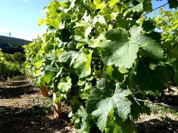 Sancerre Wein noch als traube an der rebe