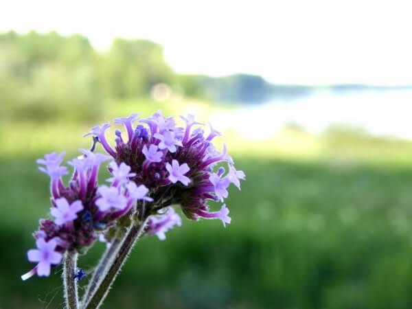 Ufer der Maine Natur Anjou