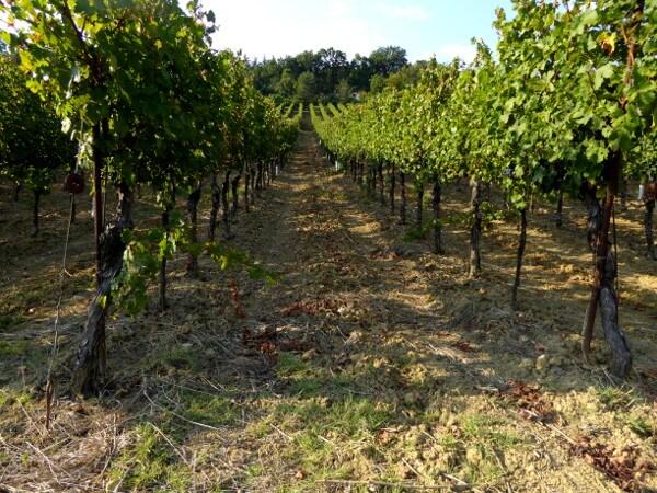 Weine Emilia Romagna Weinreben