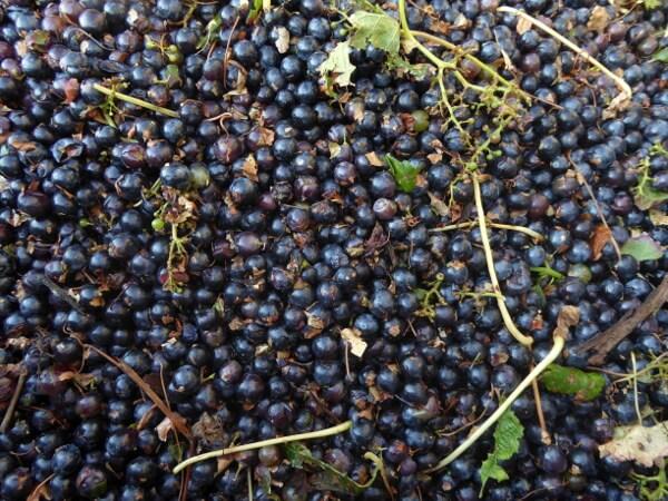 Weine der Emilia Romagna Imola Weintrauben gelesen