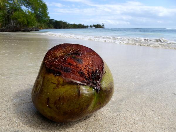 Isla Carenero Bocas del Toro Kokosnuss am strand