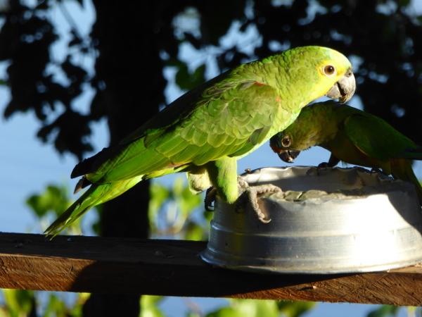 blaustirnamazone papagei pantanal brasilien