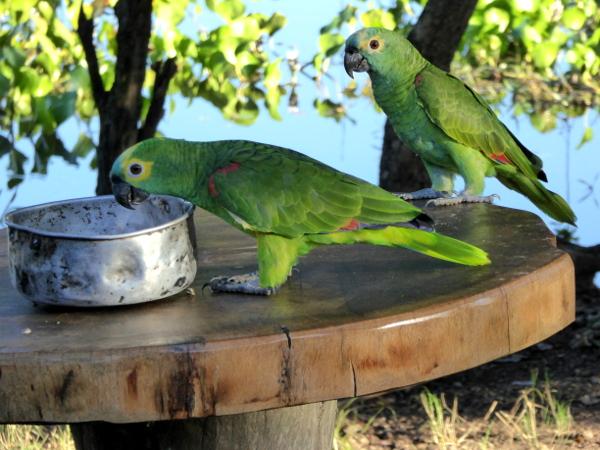 blaustirnamazone schutzprogramm papageien