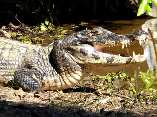 kaiman Pantanal Brasilien