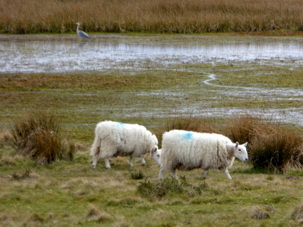 Wales Land und Leute schafe freibeuter reisen
