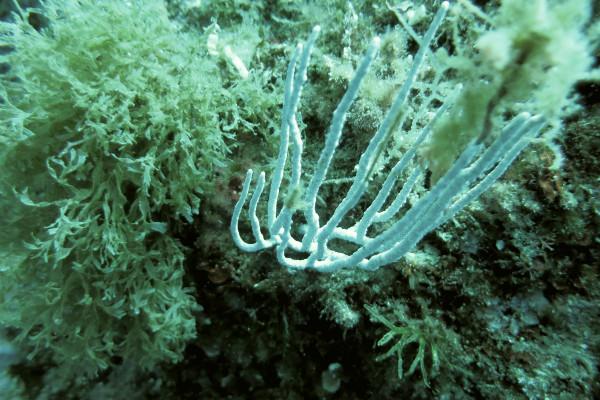 Islas Medas Costa Brava Diving Freibeuter Reisen gorgonie weiss