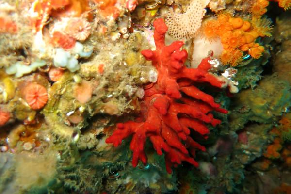 Islas Medas Costa Brava Diving Freibeuter Reisen rote koralle