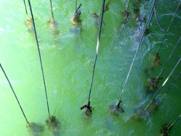Musclarium Muscheln Ebrodelta Freibeuter reisen fäden