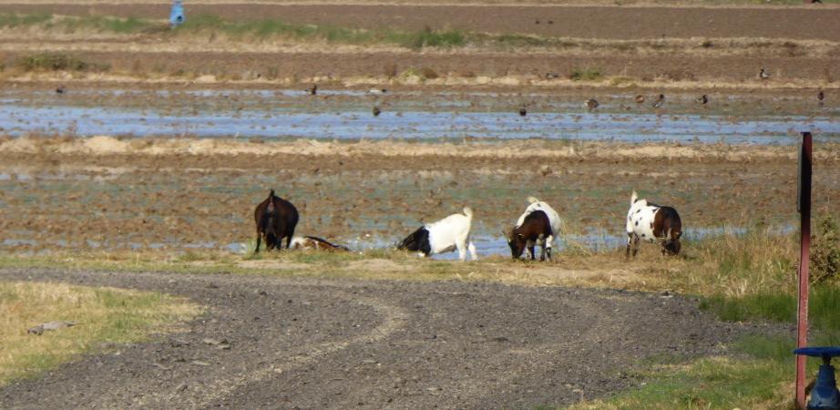 Pals Reis Mühle Ziegen