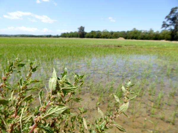 Pals und seine Reisfelder Costa brava