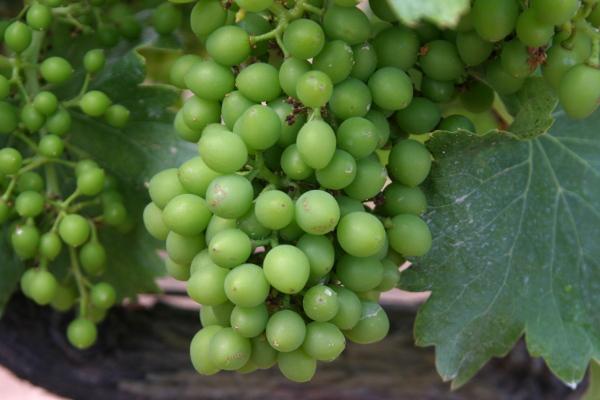 Weintraube La Placeta Montsant Weine Freibeuter Reisen