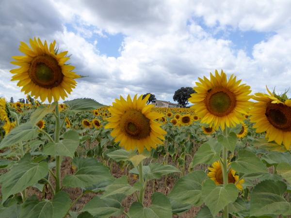 bauernhof sonnenblumen granja mas bes freibeuter reisen