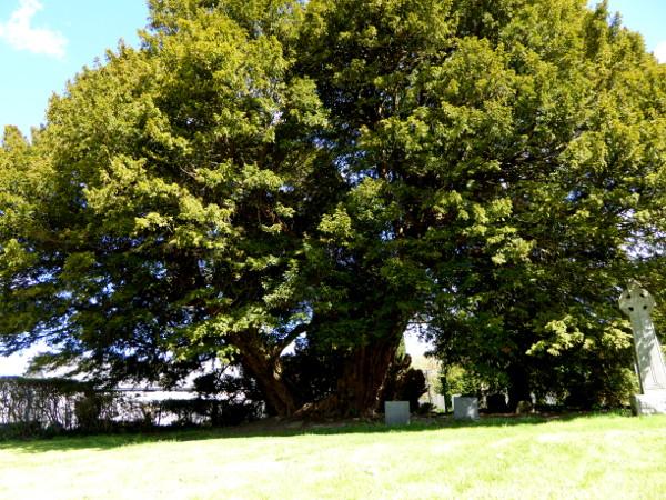 Wales Land und Leute Yew Tree Llangernyw Yew Freibeuter reisen