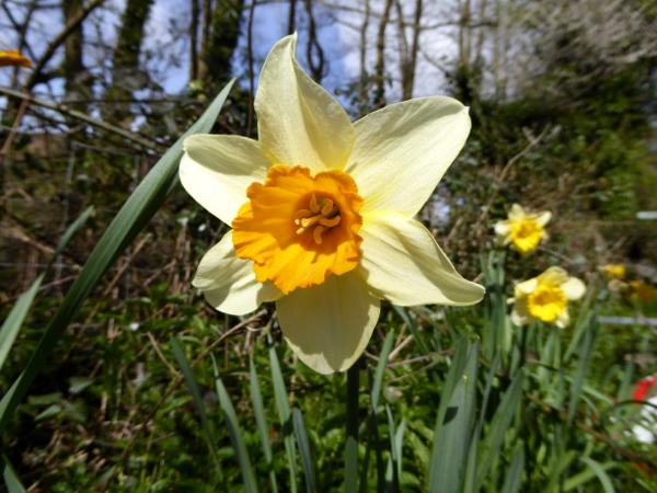 wales land und leute daffodil Osterglocke Freibeuter reisen
