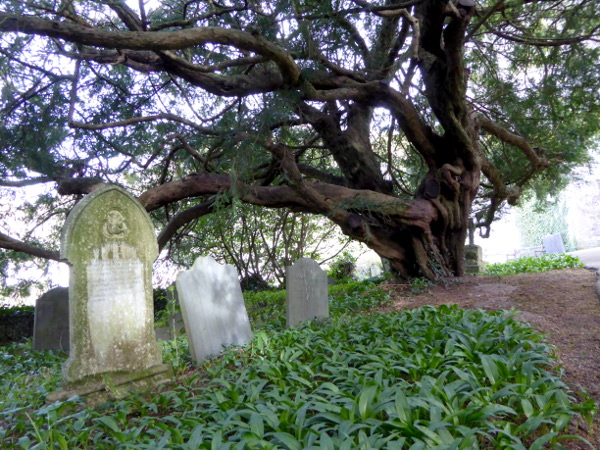 wales land und leute yew tree auf dem Friedhof freibeuter reisen