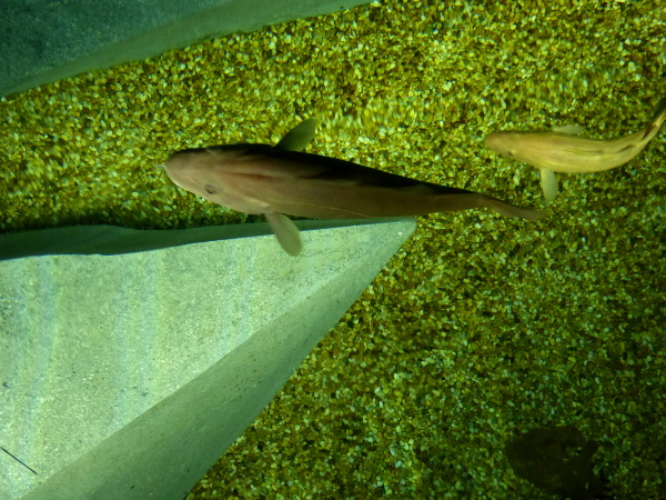 aquarium-kabeljau-museum-ilhavu-freibeuter-reisen