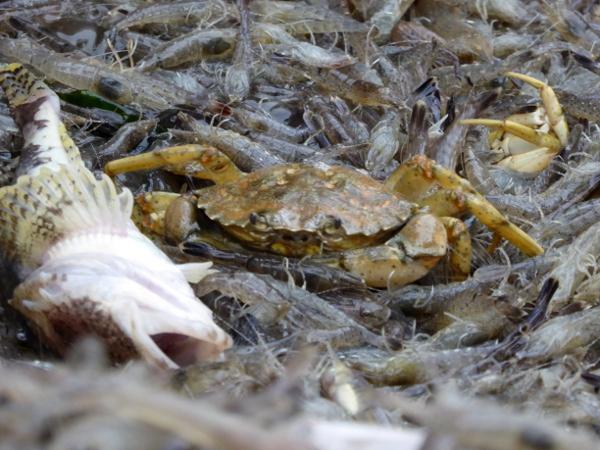 krebs-krabbenfischer-freibeuter-reisen-texel