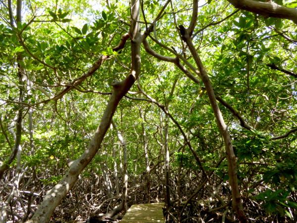 dichte-mangroven-naturpark-presquile-de-la-caravelle-martinique-freibeuter-reisen