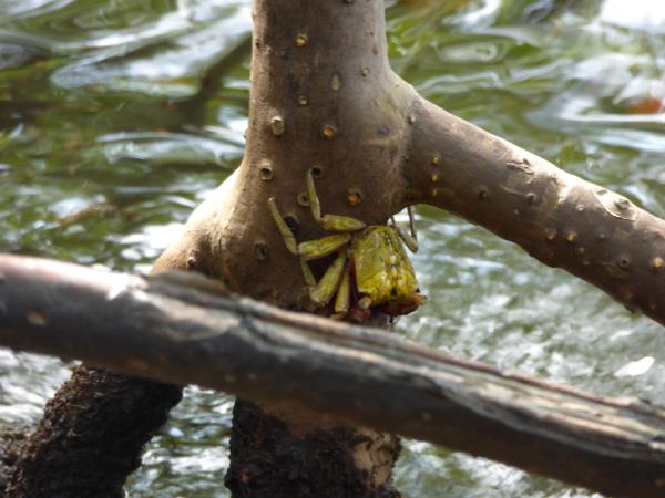 krebs-an-mangrove-naturpark-presquile-de-la-caravelle-martinique-freibeuter-reisen