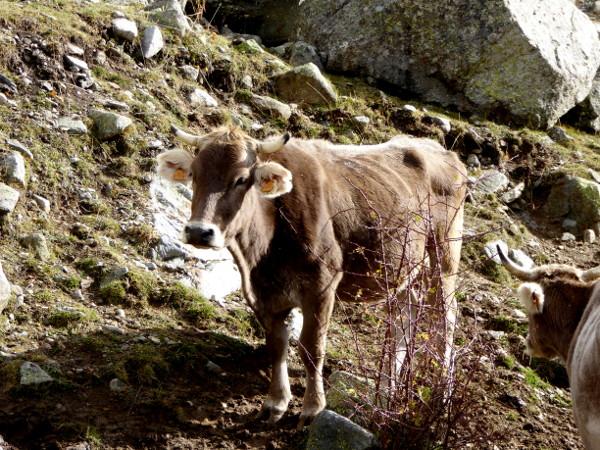 kuh-pyrenaeen-nationalpark-aigueestortes-freibeuter-reisen