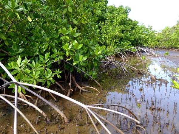 mangroven-naturpark-presquile-de-la-caravelle-martinique-freibeuter-reisen