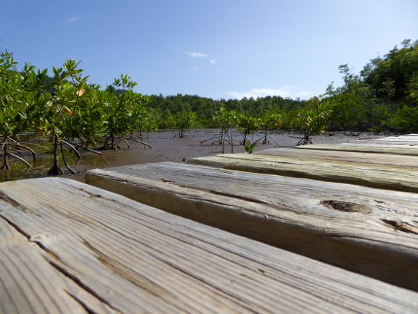 steg-mangroven-naturpark-presquile-de-la-caravelle-martinique-freibeuter-reisen
