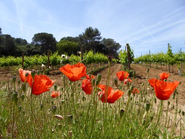 Can Roda Weinberge mohnblumen freibeuter reisen