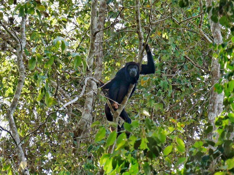 bruellaffe regenwald terramor freibeuter reisen