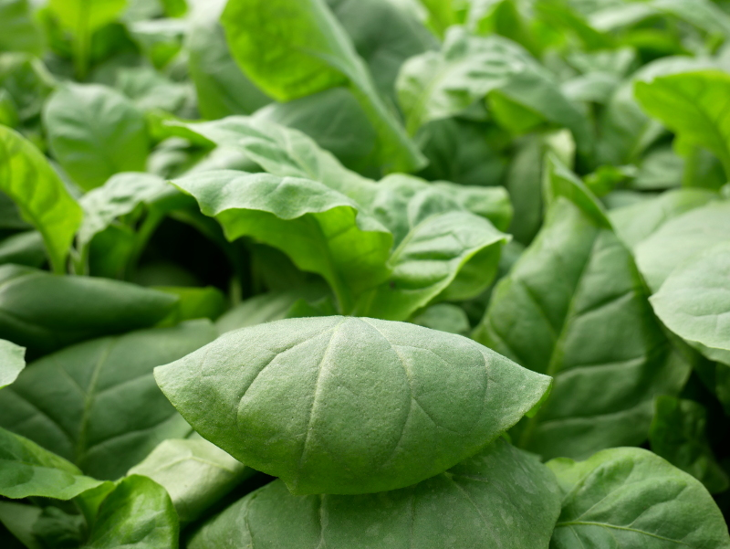 tabak pflanze fazenda brasilien freibeuter reisen
