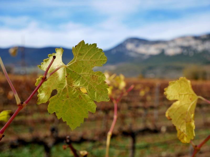 Weinreben im Herbst Otazu berge navarra