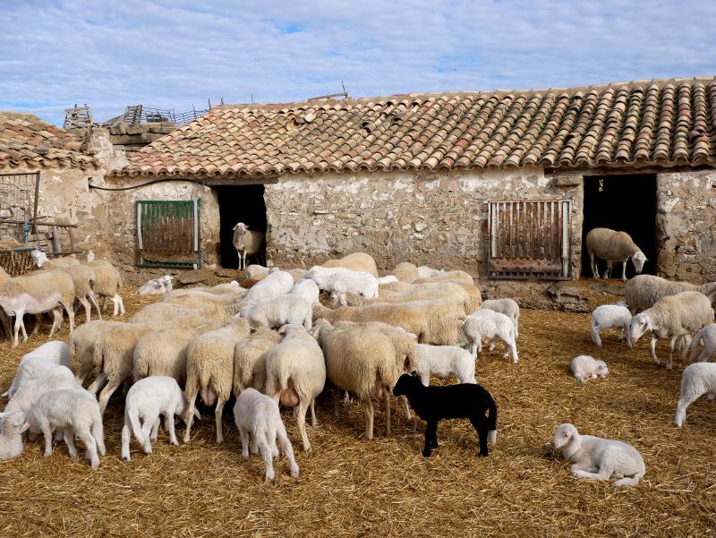 Bardenas Reales Navarra schafe spanien