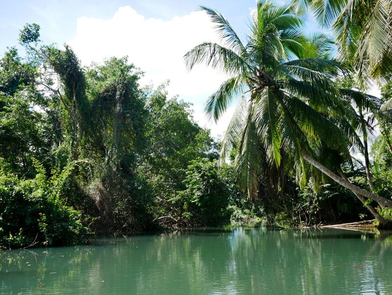 kokospalme guadeloupe