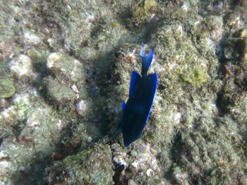 paletten Doktorfisch guadeloupe reserve cousteau