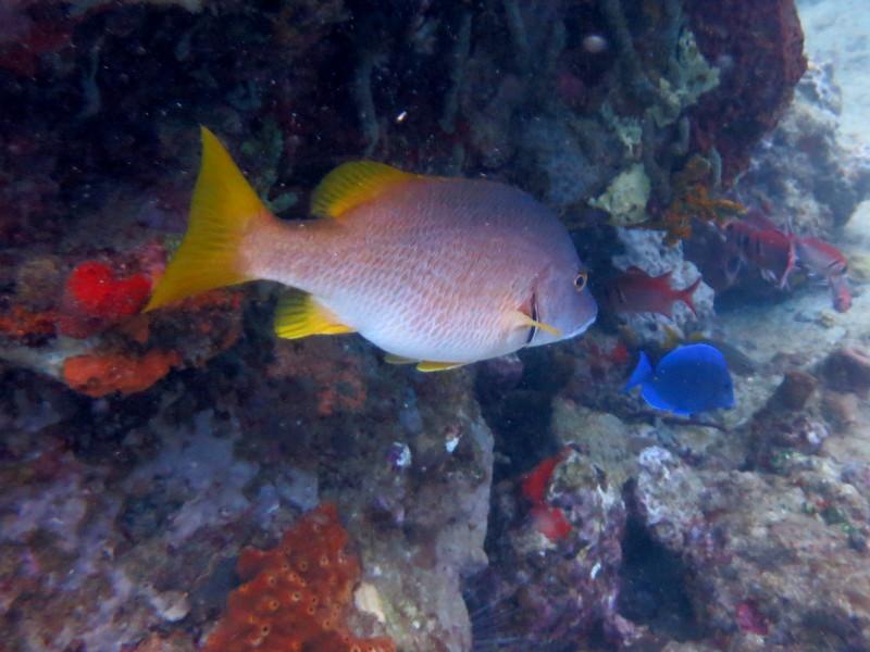 Fisch und paletten Doktorfisch guadeloupe reserve cousteau