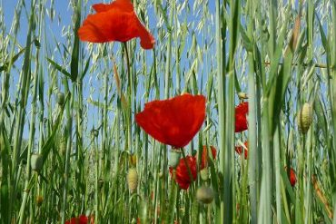 Mohnblumen : Poppys