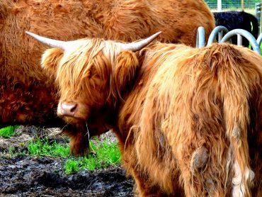 Hamish - Highland - das Schottische Hochlandrind 12
