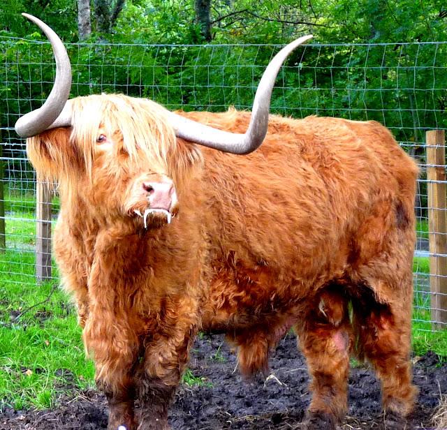 Highland Hochlandrinder Hamish