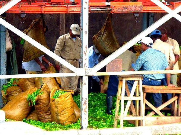 Mauritius Bois Cheri Tee plantage