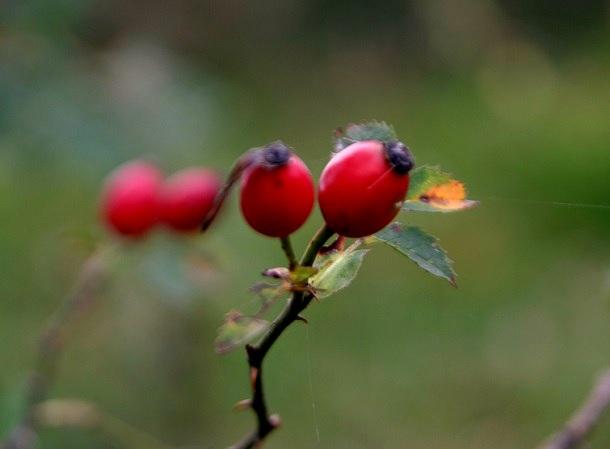 Hagebutten Herbst