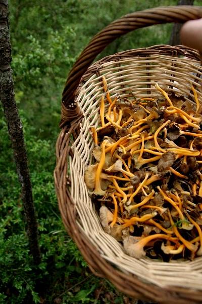Pilze sammeln im Herbst