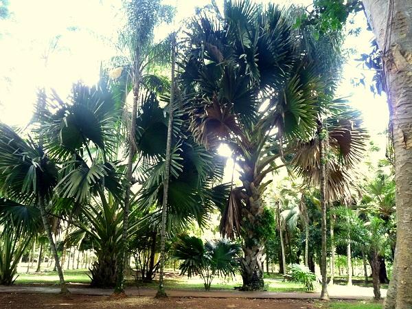 Palmengarten Pamplemousses Mauritius