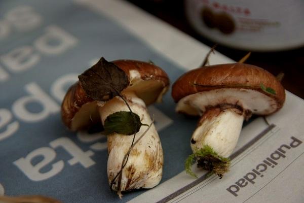 Pilze bestimmen