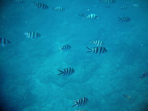 Fische Tauchen