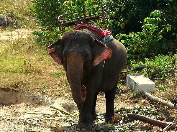 Kho Phangan Thailand Elefanten Trekking