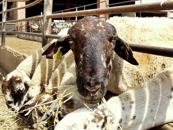 Costa Brava Biobauernhof Schaf fütterung